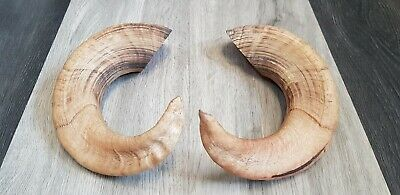ANTIQUE Vintage PAIR OF SCOTTISH RAMS HORNS taxidermy shop display curio model