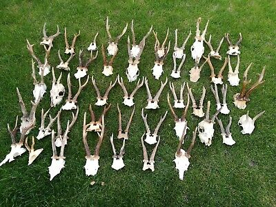 😋47x  ROE DEER skull ANTLERS TAXIDERMY ARTS AND CRAFTS