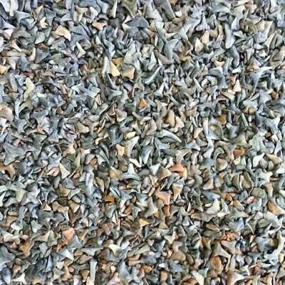 250 Fossilized Shark Teeth  (Peace river & Beach) + 1 Shark Tooth Necklace +More