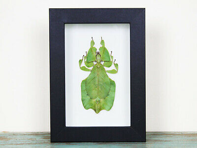 Phyllium giganteum Leaf Insect in a Frame