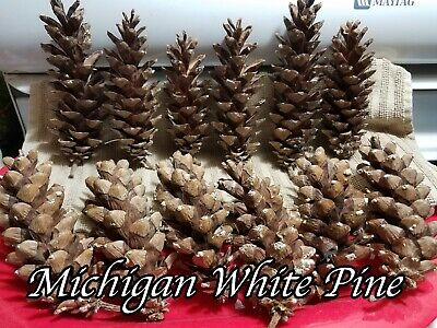 Large Michigan Pine Cones - CHOOSE Norway Spruce or White Pine