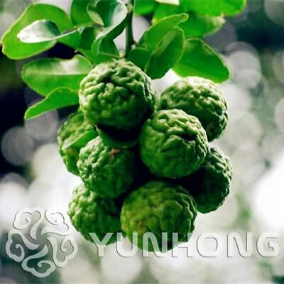 30pcs Rare Kaffir Lime Seeds Tree Garden Plants Lemon Bonsai From Thailand.