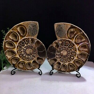 930g Natural A Pair of Ancient Ammonite Fossils Slice Nautilus Jade Shell+Stand