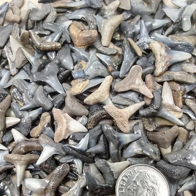 """25 Jewelry Grade Fossilized Shark Teeth 1/4""""-31/64"""" + 1 Shark Tooth Necklace"""