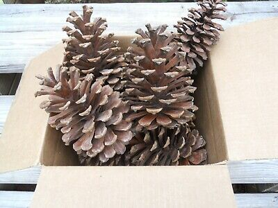 """BIG Pine Cones from Georgia Pines (5 cones) Approx 8.5"""" tall and 5"""" base wide"""