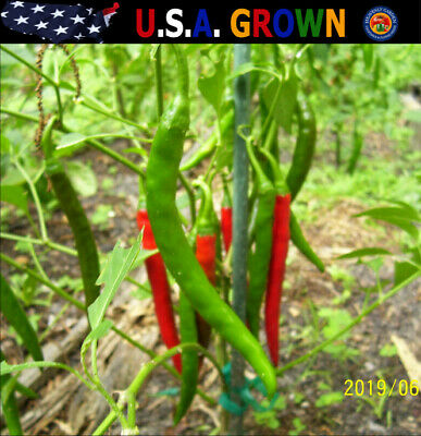 """75 Cayenne Hot Peppers Seeds ORGANIC Long Red Thick - 6"""" to 7"""" Heirloom"""