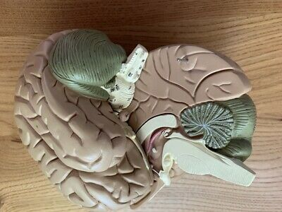 Full Size Anatomical Model of the Human Brain