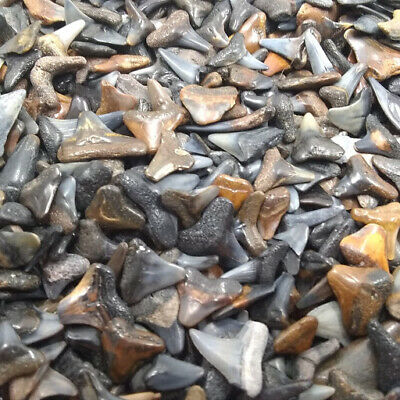 Lot of 100 Fossilized Shark Teeth + 1 Large Whole Tooth + Shark Tooth Necklace