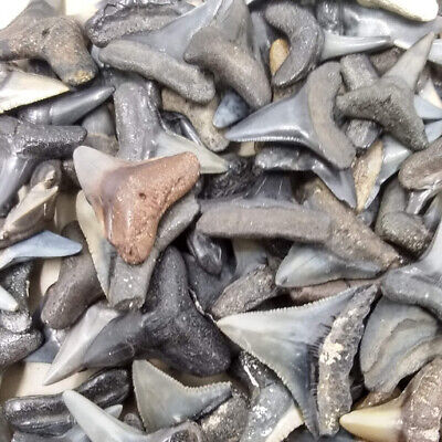 "Lot of 25 Whole Fossilized Shark Teeth 1/2""-47/64"" +Shark Tooth Necklace"