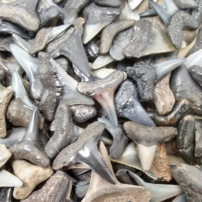 Lot of 12 Large  A+ Shark Teeth + Shark Tooth Necklace + Shark Tooth Guide