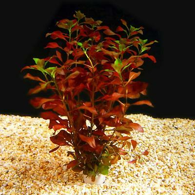 Bunched Dark Red Ludwigia Live Aquarium Plants Stem Repens Stem