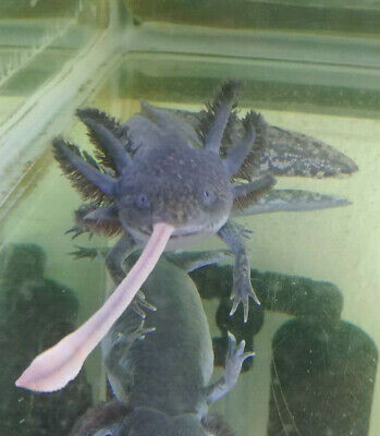 40 Gallon Axolotl Tank PICK UP ONLY