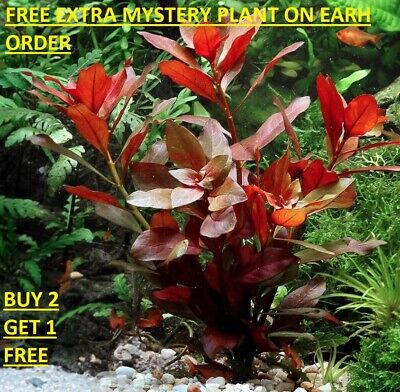 Ludwigia Repens Red Bunch Fresh Live Aquatic Plants Aquarium BUY2GET1FREE