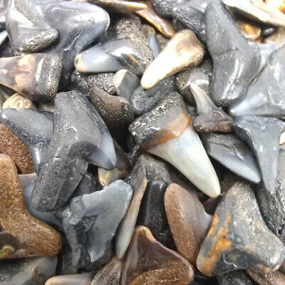 30 Fossilized Shark Teeth  (Beach/River) + 1 Shark Tooth Necklace Over 450 SOLD!