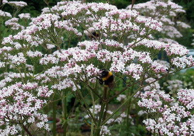 Valerian (Valeriana officinalis) - superb bee plant.  100 seeds