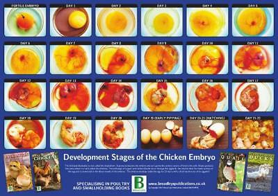 Development of the Chicken Embryo 29.5cm X 42cm A3 New Poultry Poster
