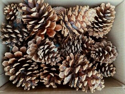 California Gold Country Natural Ponderosa Pine Cones Fresh 18 MEDIUM or 15 LARGE