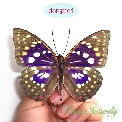 50 PCS WHOLESALE unmounted butterfly DICHORRAGIA NESIMACHUS CHINA