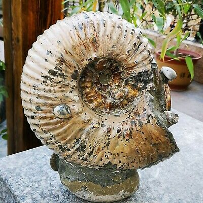 39.13LB whole natural ammonite fossil conch crystal specimen healing