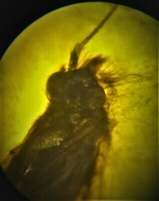 Rare Caddisfly Leptoceridae Fossil In Baltic Amber 45-55 Million Years  Insect
