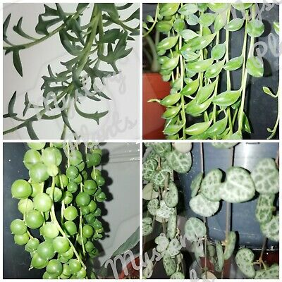 4 Cutting String Of Hearts Pearls Beads dolphins Ceropegia Woodii Senecio plant
