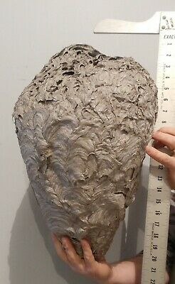 "Real Paper Bald Face Hornets Nest, Man Cave, New Jersey, 21"" Long, Science"