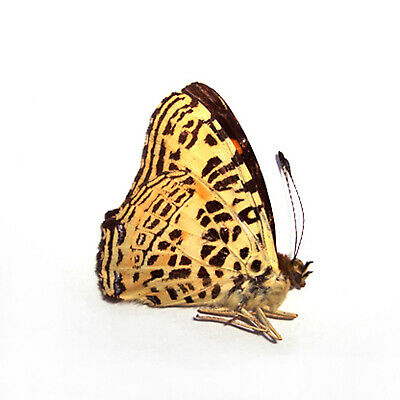 A most of A1 5 unmounted butterfly Symbrenthia leoparda #5 A1