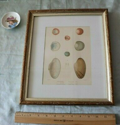 """Antique French Sea Shell Hand Painted Lithograph Includes Frame~L-13""""X W-11"""""""
