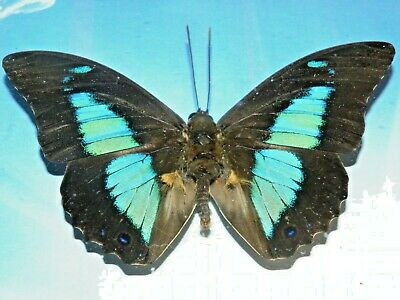 butterfly REAL mounted framed lot insect moth lot GIFT INSECT taxidermy art