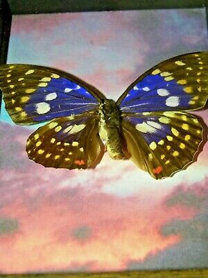 REAL butterfly FRAMED  MOUNTED swallowtail  INSECT taxidermy shadowbox