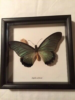 """Giant Blue Swallowtail Butterfly Specimen Mounted and Framed 7.5"""" x 7.5"""""""