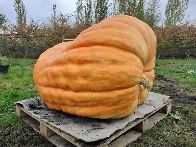 Giant Pumpkin Seeds, 694 lb 2019