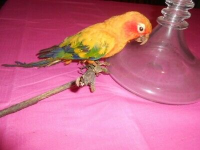 Antique Taxidermy parrot not sure what type Needs a bit of TLC