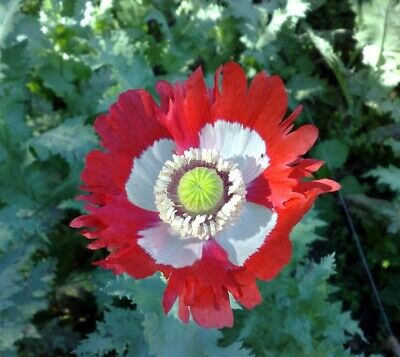 Poppy 'Danish Flag' / Papaver  / Hardy Annual Poppy / 2000 seeds