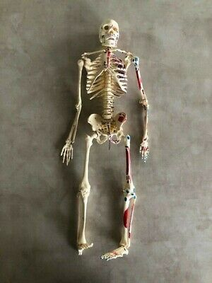24 Inch Human Anatomical Anatomy Skeleton Medical Model