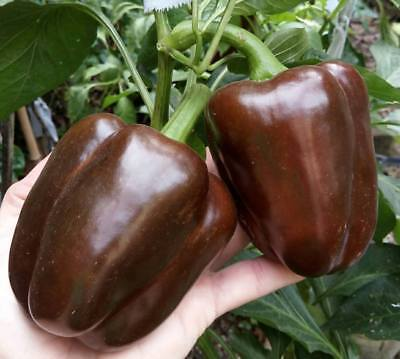 PIMIENTO DE  CHOCOLATE pepper  100 Semillas  / Seeds