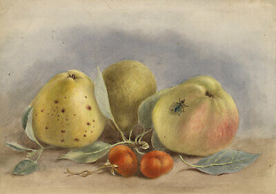 G.P., Apples Still Life with Fly – Original 1889 watercolour painting