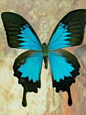 REAL butterfly FRAMED  MOUNTED swallowtail GIFT INSECT taxidermy shadowbox art