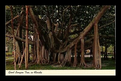 Dr Jim Stamps Us Giant Banyan Tree Florida Chrome View Postcard