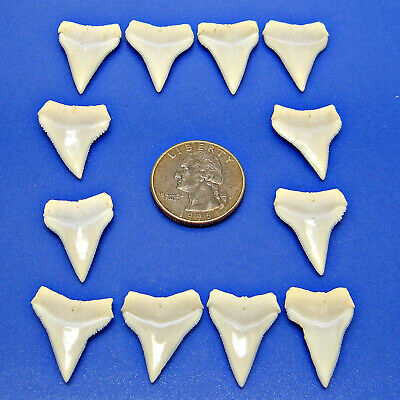 WHITE TIP SHARKS TEETH 12 Pc Lot 1nch 25mm UPPER Jaw Shark Tooth
