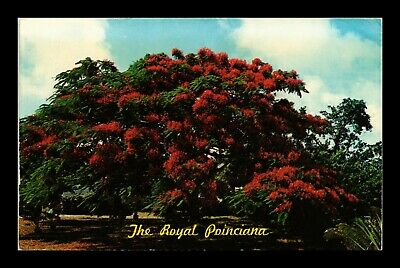 Dr Jim Stamps Us Royal Poinciana Tree Florida Chrome View Postcard