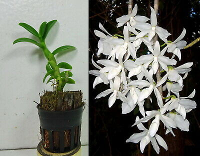 Potted DENDROBIUM ANOSMUM VAR. ALBA, Orchid Plant, Rare, Yard, Garden