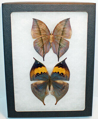 REAL FRAMED BUTTERFLY LEAF MIMIC VERSO KALLIMA INACHUS CHINA