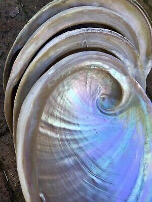 WA Southern Ocean Abalone Shell  150mm and above Wild Grown Hand Harvested