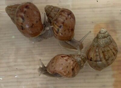 Giant African Land Snail One Fulica Snails With Everything You Need..