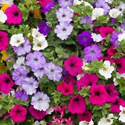 100 STAR MIX PETUNIA Mixed Colors Petunia Violacea Flower Seeds Red Blue Purple
