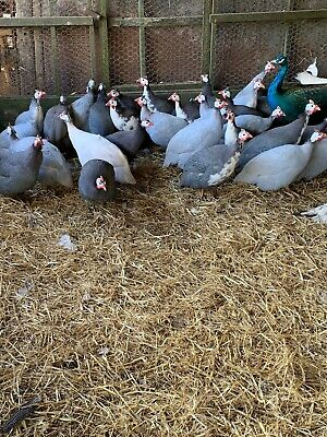 Guinea Fowl Hatching Eggs X6