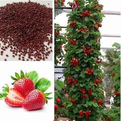 Red Climbing Strawberry Seeds, Garden Fruit Plant, Sweet Delicious - 20 SEEDS Kj