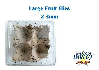 Flightless Fruit Flies, LiveFoods Direct, reptile & bird food 2-3mm ready 2 eat