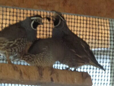 15 California Valley Quail Hatching Eggs